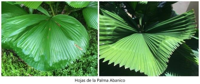 Hojas de la Palma Abanico