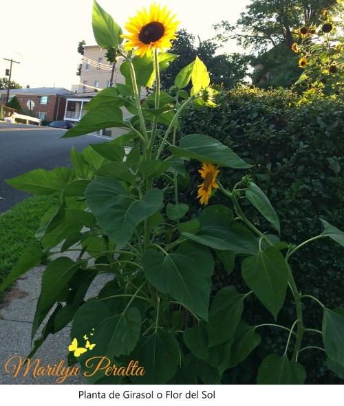 Planta de Girasol o Flor del Sol