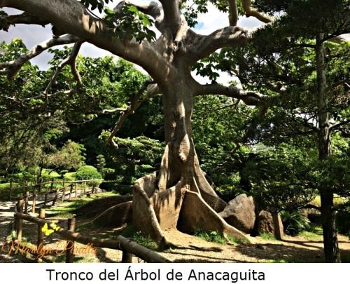 Tronco del Arbol de Anacaguita