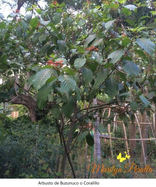 arbusto-de-buzunuco-o-coralillo