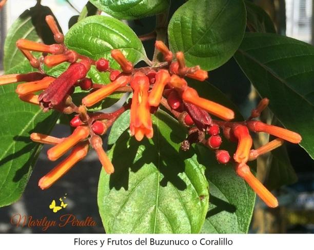 flores-y-frutos-del-buzunuco-o-coralillo