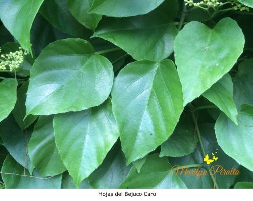 hojas-de-bejuco-caro