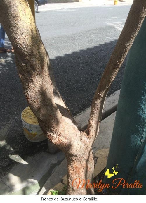 tronco-del-buzunuco-o-coralillo
