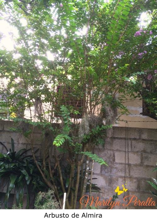 arbusto-de-almira