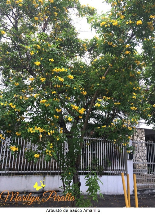 arbusto-de-sauco-amarillo