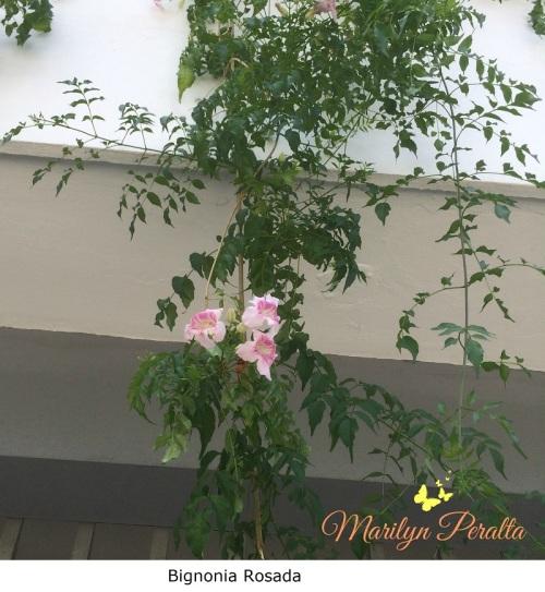 bignonia-rosada