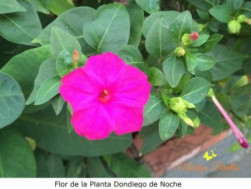 flor-de-la-planta-dondiego-de-noche
