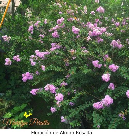 floracion-de-almira-rosada