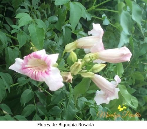 flores-de-bignonia-rosada
