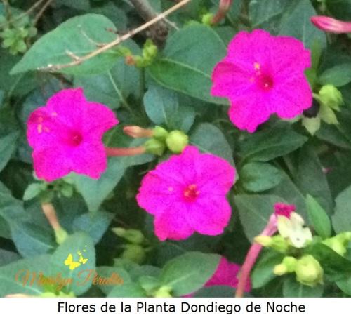 flores-de-la-planta-dondiego-de-noche