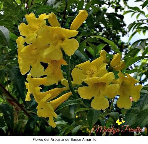 Arbustos page 3 rboles y flores en rep blica dominicana for Arbustos de hoja caduca
