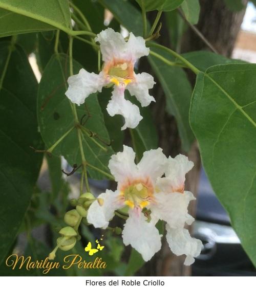 flores-del-roble-criollo