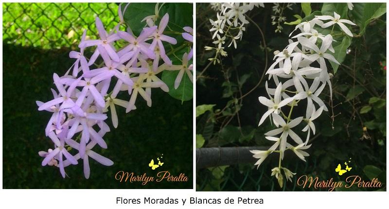flores-moradas-y-blancas-de-petrea