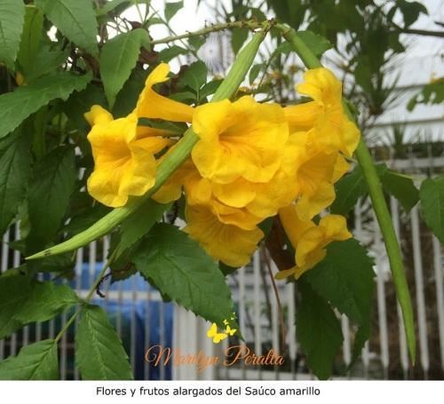 flores-y-frutos-alargados-del-sauco-amarillo