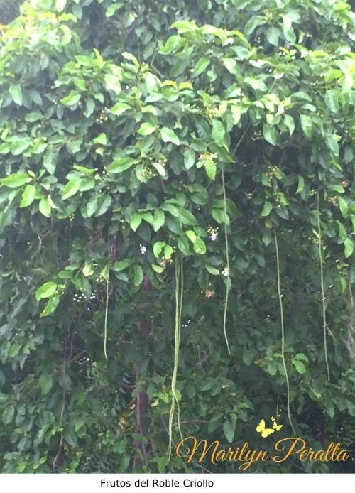 frutos-del-roble-criollo