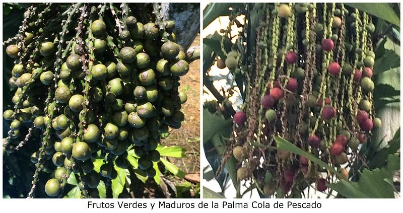 frutos-verdes-y-maduros-de-la-palma-cola-de-pescado