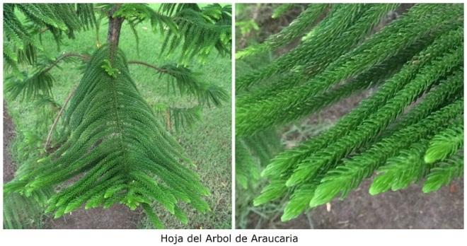 hoja-del-arbol-de-araucaria
