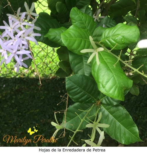 hojas-de-la-enredadera-de-petrea