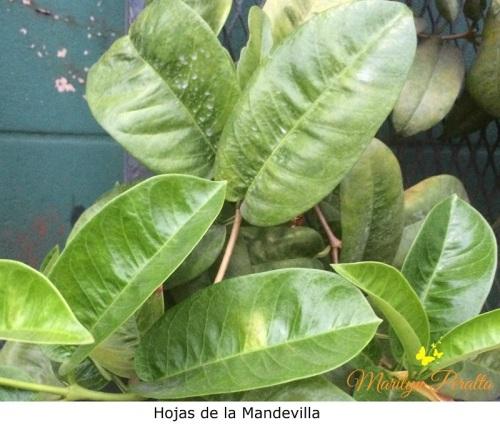 hojas-de-la-mandevilla