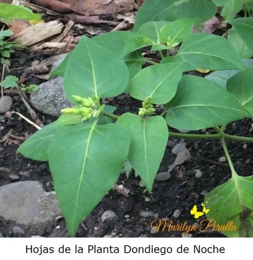 hojas-de-la-planta-dondiego-de-noche