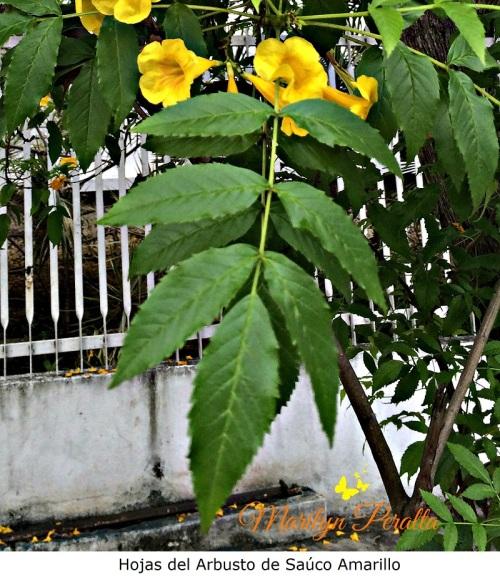 hojas-del-arbusto-de-sauco-amarillo