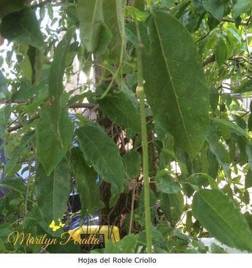 hojas-del-roble-criollo