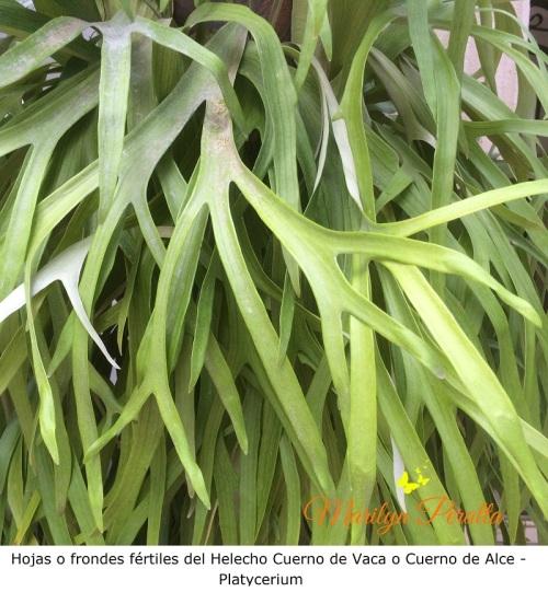 hojas-o-frondes-fertiles-del-helecho-cuerno-de-vaca-platycerium