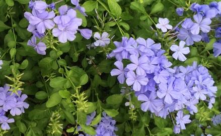 Arbustos rboles y flores en rep blica dominicana - Arbusto pequeno con flores ...