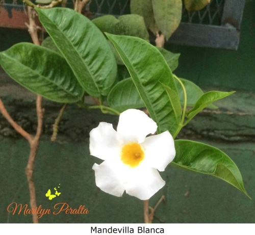mandevilla-blanca