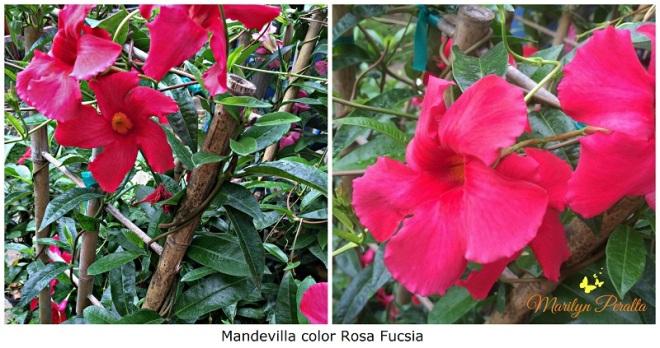 mandevilla-color-rosa-fucsia