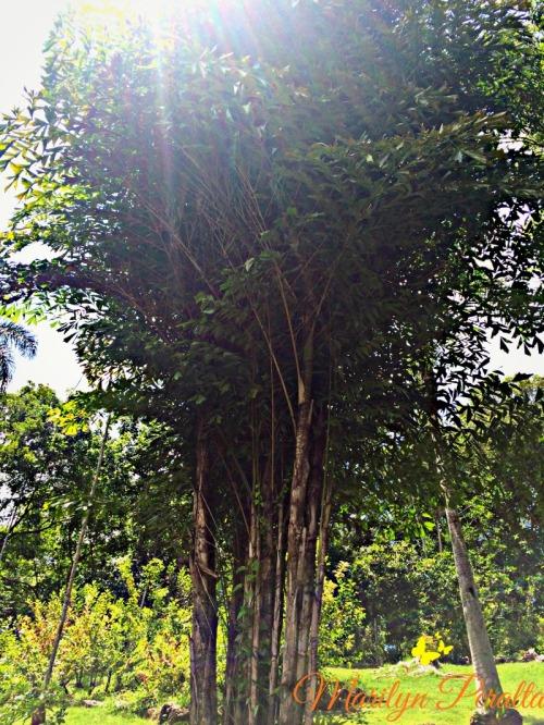 Palma Caryota mitis