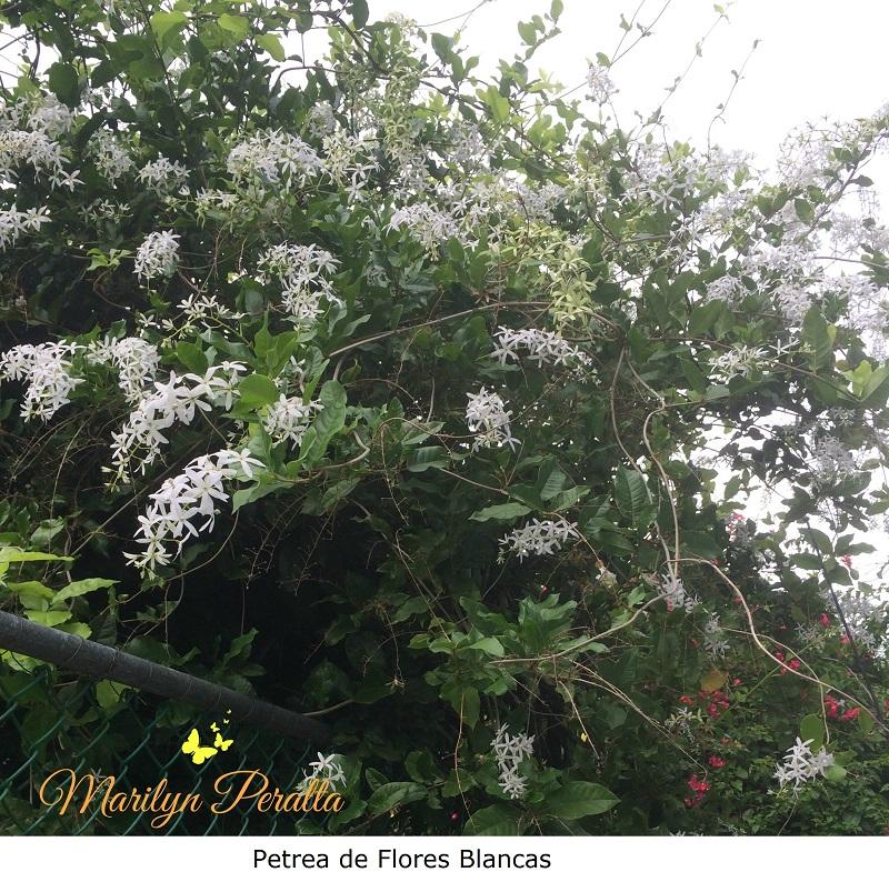 petrea-de-flores-blancas