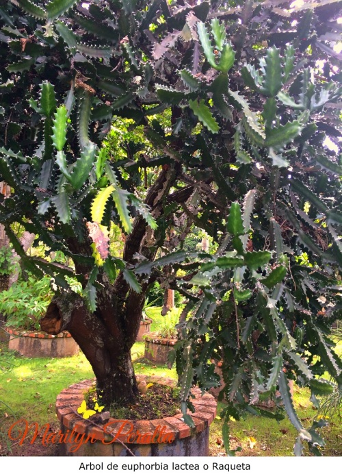 arbol-de-euphorbia-lactea