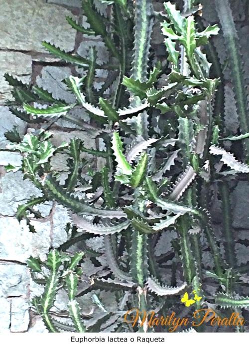 euphorbia-lactea-o-raqueta