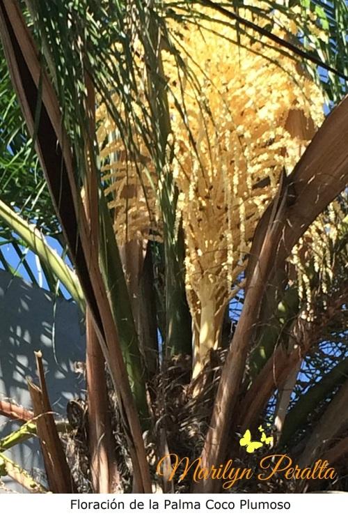 floracion-de-la-palma-coco-plumoso