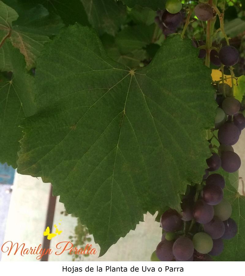 hoja-de-la-planta-de-uva-o-parra