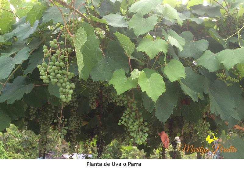 planta-de-uva-o-parra