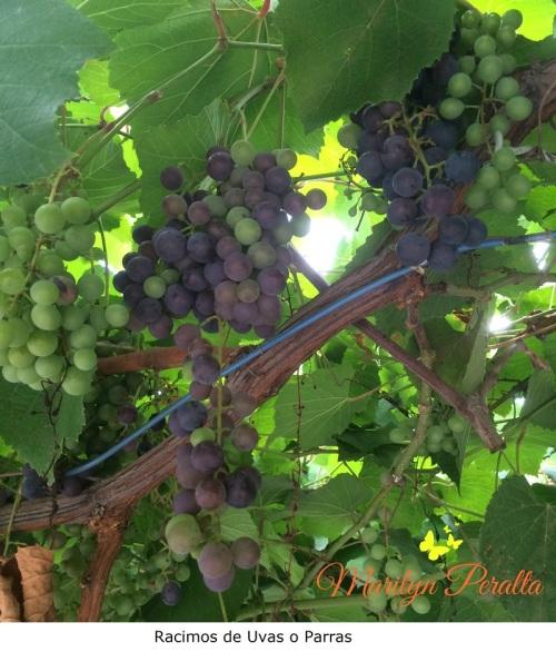 racimos-de-uvas