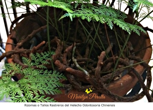 rizomas-o-tallos-rastreros-del-helecho-odontosoria-chinensis