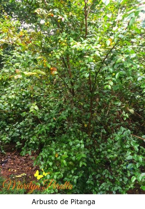 arbusto-de-pitanga