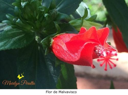 flor-de-malvavisco