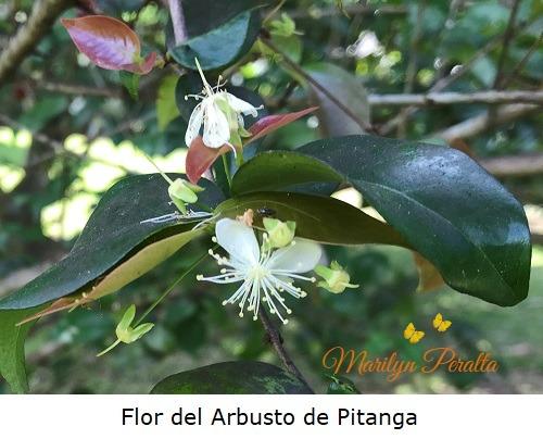 Flor del Arbusto de Pitanga