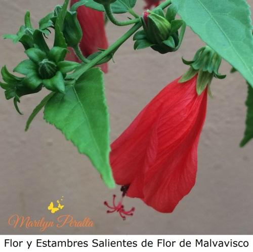 flor-y-estambre-saliente-del-malvavisco