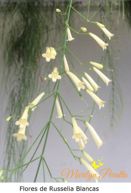 flores-de-russelia-blancas