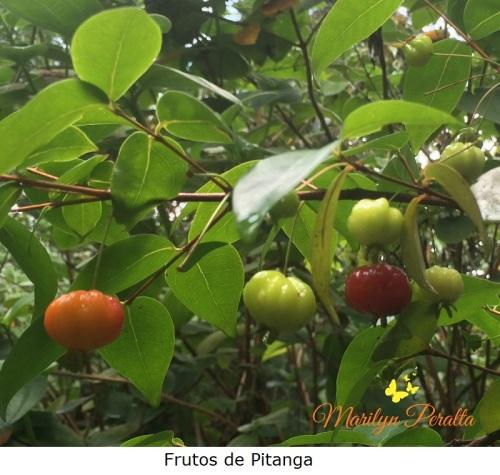 frutos-de-pitanga