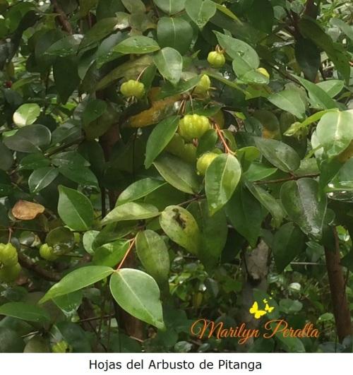 hojas-de-pitanga