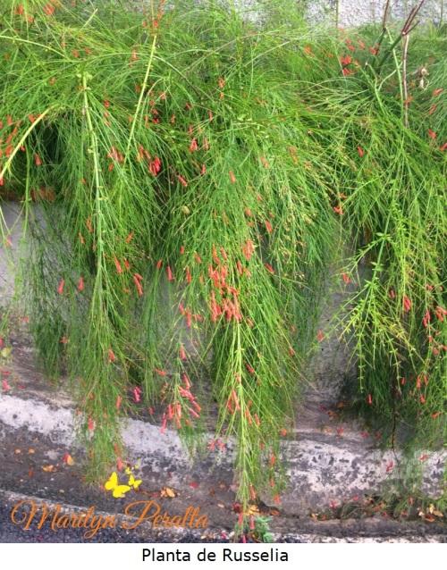 planta-de-russelia