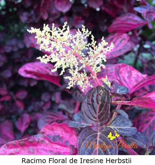racimo-floral-de-iresine-herbstii