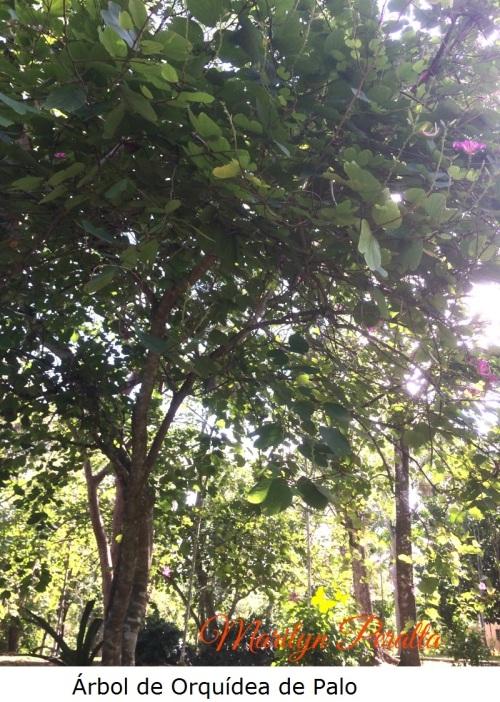 arbol-de-orquidea-de-palo