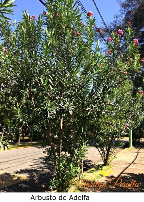 arbusto-de-adelfa